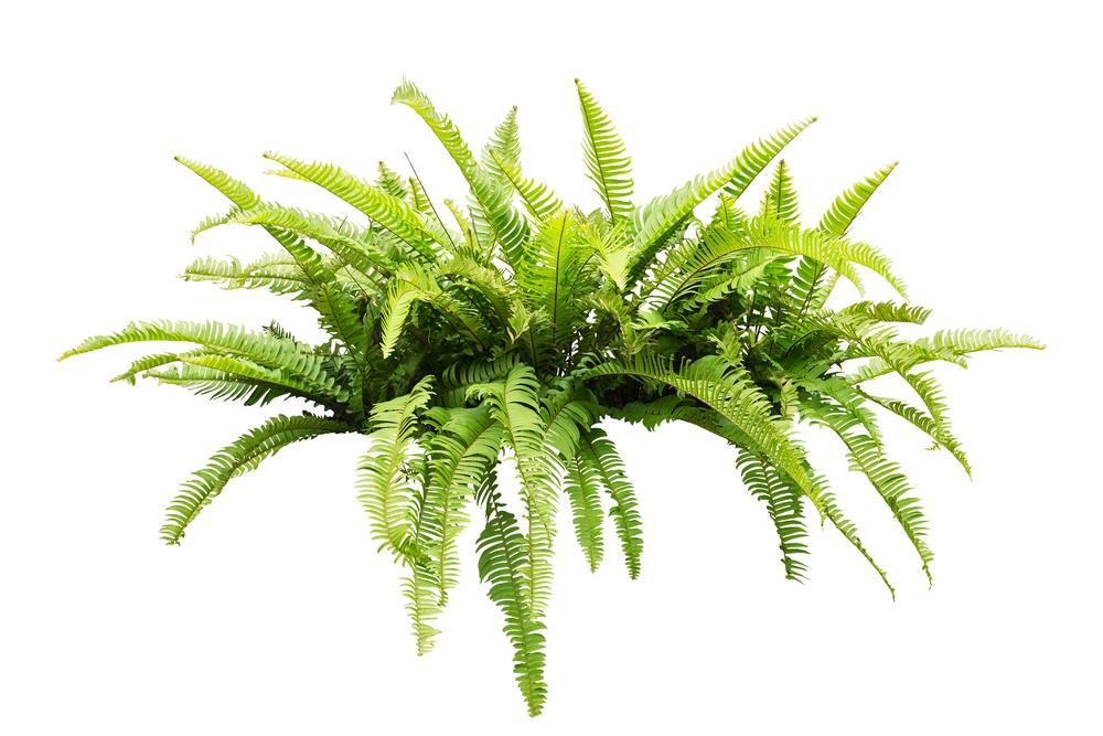 fougère plante intérieur